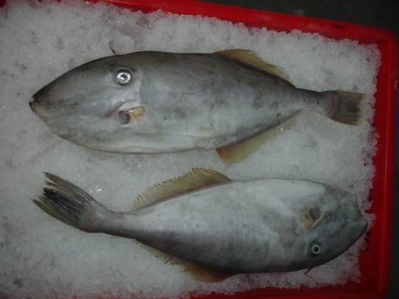 Mua Frozen Leather Jacket Fish