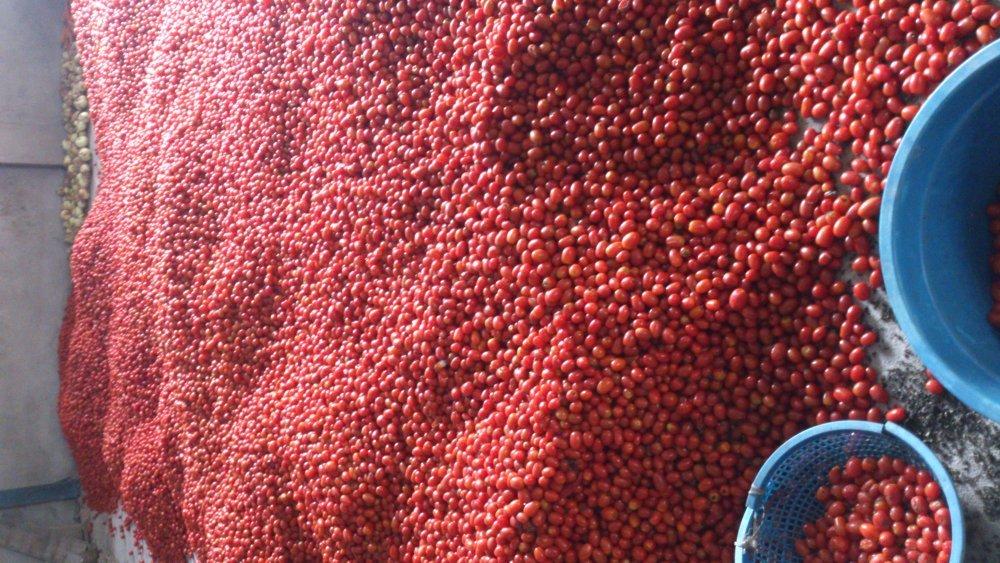 Mua Tomatoes