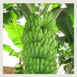 Mua Cavendish Banana