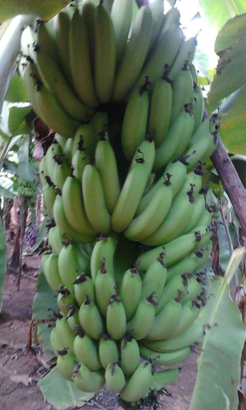 Mua Cavendish Banana (FRESH GREEN CAVENDISH BANANA)