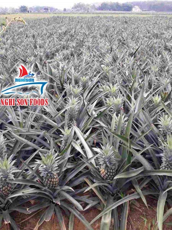 Mua Fresh Pineapple