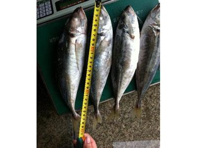 Mua Horse mackerel
