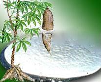 Mua Cassava starch
