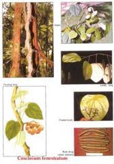 Coscinium fenestratum (Gaertn.) Colebr (горький