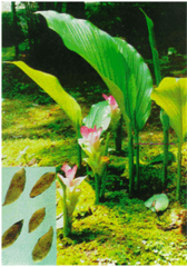 Куркума aromatica Salisb., (белая куркума)