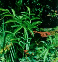 Leea rubra Blunne( gối hạc)