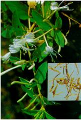Lonicera японская Thunb. (Жимолость)