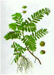 Phyltanthus urinaria л., (сука)