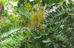 Sinaroubaceae. (энциклопедия болезней)