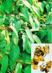 Leea rubra Blunne (оранжевые подушки)