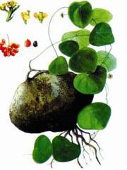 Stephania glabra (Roxb.) (bình vôi)
