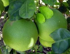 Pomelo (Grape Fruit)