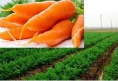 Cà rốt sấy, cà rốt tươi dried carot and fresh