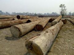 Keruing Logs from Laos