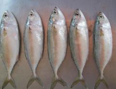 Short body Mackerel (Cá ba thú)
