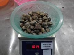 Frozen Cooked Whole Brown Clam