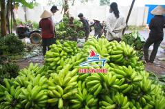Fresh Cavendish Banana From Vietnam