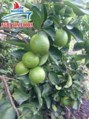 Fresh Lime/Lemon from Vietnam Supplier in Bulk