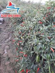 Fresh Red Hot Chillies for Sale in Vietnam