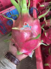 Fresh Dragon Fruit Exporter in Vietnam