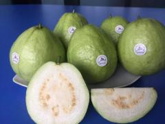 Fresh Guava Exporter in Vietnam High Quality