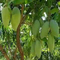 Xoài (Fresh Mango for Sale in Vietnam)