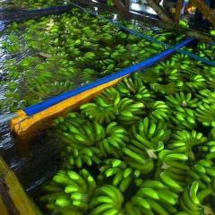 Chuối tươi chất lượng cao Việt Nam