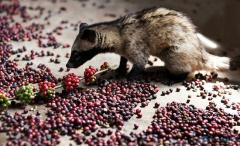 Sell LUWAK ROASTED COFFEE BEANS