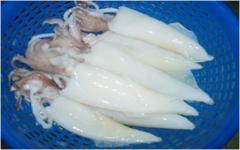 Loligo Squid