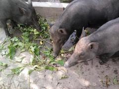 Cung cấp lợn rừng nguyên con đang ăn cỏ