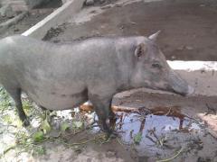 Lợn rừng Việt Nam lai Thái Lan đời F4, F5