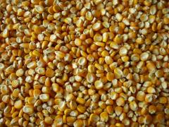 Bắp hạt
