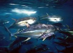 Tuna Solids