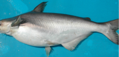 Pangasius Whole