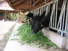 Thức ăn cho  bò