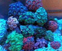 דגי אלמוג