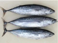 Frigate Tuna whole round, 100% NW