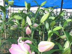 Hoa Lyly