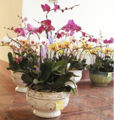 Cuttings of orchids