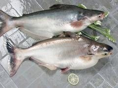 Pangasius whole gutted