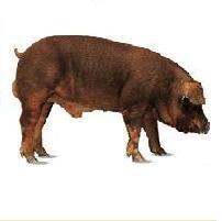 Lợn giống Duroc