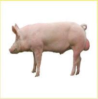 Lợn giống Yorkshire