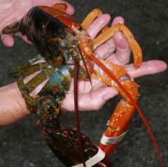 Ornatus spiny lobster