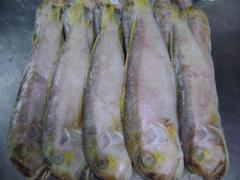 Cá đổng quéo