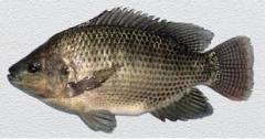 Cá rô phi đầm