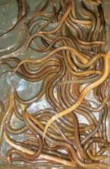 Lươn Nghệ tách xương