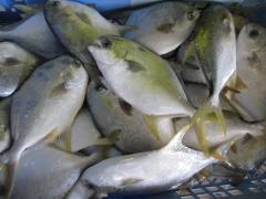 Frozen pompano whole round, fin on , tail on