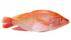 Red tilapia WGGS