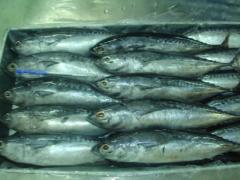 Bullet tuna