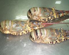 Sliper Lobster Frozen Lobster Raw